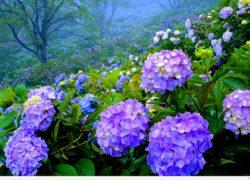 """Cao Bằng đẹp mê mẩn với vườn """" Cẩm Tú Cầu """""""